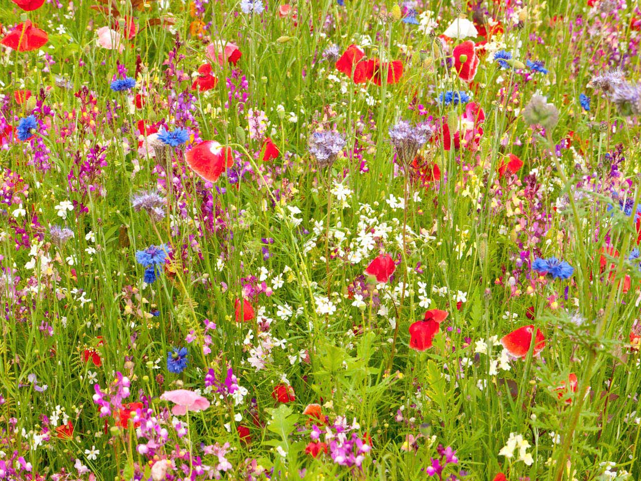 Beautiful meadow with green grass, and bright red, purple and blue flowers